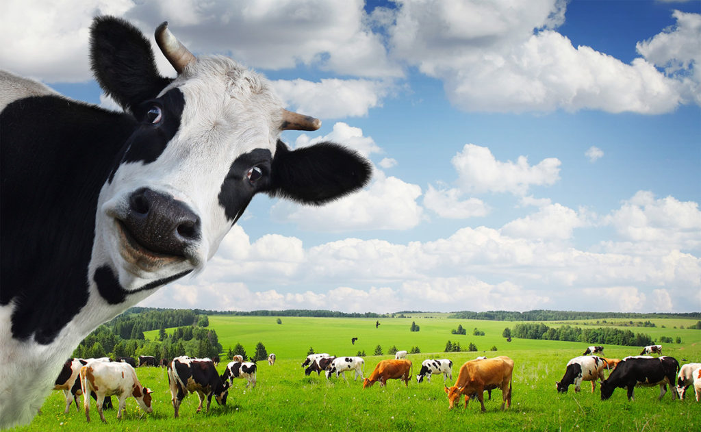 Will COWS Soon Be Extinct?